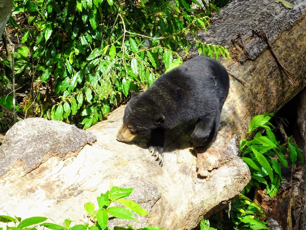 Bornean Sun Bear Conservation Centre, Sandakan